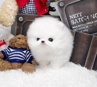 Two adorable white Teacup pomeranian puppies