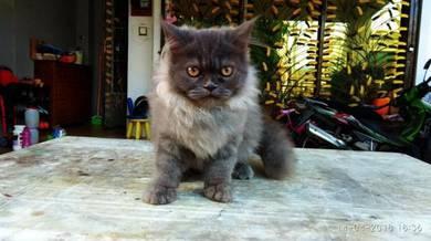 'The Lion King' Kitten