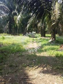 Kebun Kelapa Sawit.Mukim Pt Jawa