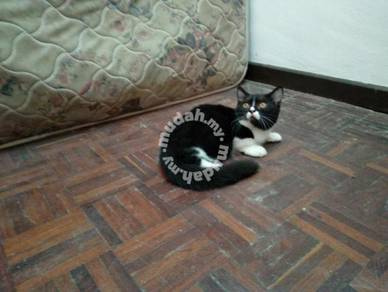 Male munchkin kitten / katik