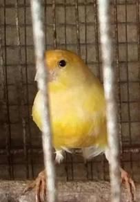 Female Canary Birds