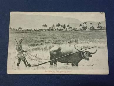 Postcard Buffalo Paddy Field PX203