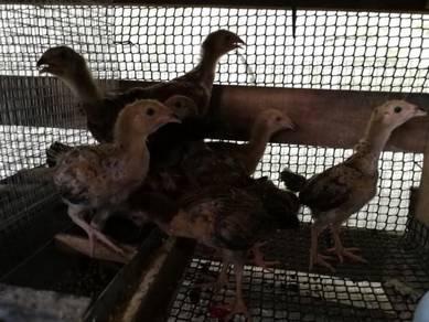 9 Ekor anak ayam kg ori untuk di jual