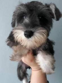 Schnauzer - Small Breed Cute Face