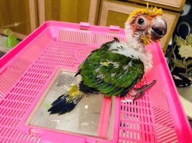 Burung Baby SunConure Parrot Bird