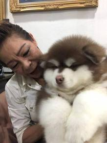 Healthy and Cute akaskan malamute Puppies