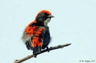 Burung sepah puteri