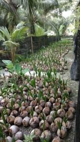 Benih kelapa seratus / SGG TULEN