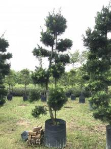 Podocarpus Bonsai 9ft-10ft OH