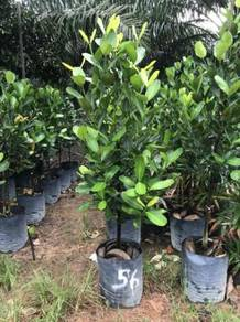 Garcinia Subelliptica 5ft +- OH