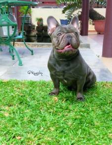 Blue French Bulldog Open Stud Service