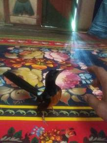 Murai batu free fly sgt2 jinak