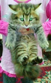 Kucing Cat Mix Parsi