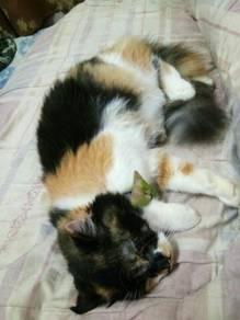Kucing Baka Parsi campuran utk dilepaskan