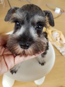Miniature schnauzers puppy