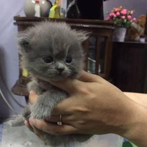 2 Ekor kitten