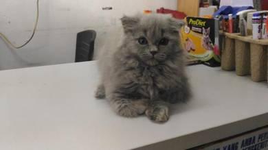 Kucing Scottish fold Long Hair