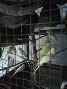 Burung baji atau nuri mata merah