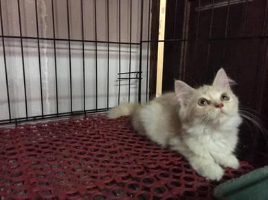 DLH kitten