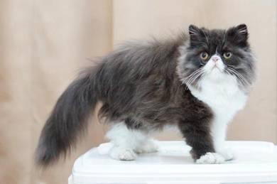Persian Flat face Kitten Black White Zorro