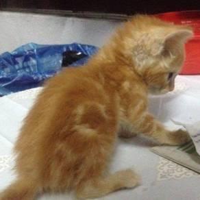 Kitten DSH