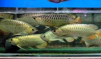 Malaysia golden 18-20 inch (low price)