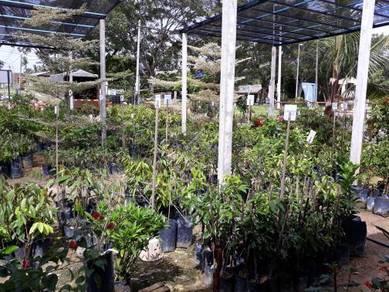 Benih pokok buahbuahan >Cita Tani Nursery