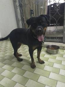 Rottweiler female 14months for sale