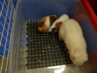 Guinea pig / tikus belanda