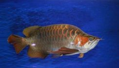 King arowana chili red 19 inch (RARE)