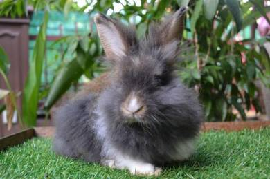 Arnab, Mix Angora Rabbit j1