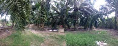 Oil palm land with development potential