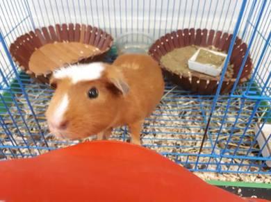 Guinea pig(short hair)