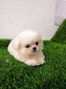 Pure Breed Pekingese Puppy (Male)