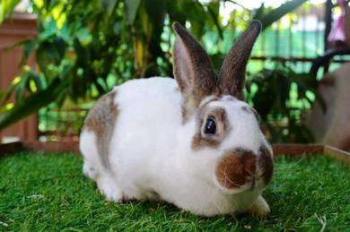 Arnab, Mini Rex Rabbit, bknJ