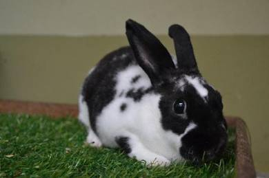 Arnab, Mini Rex Rabbit