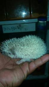 PINTO landak mini/hedgehog