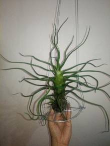 Tillandsia - Bulbosa Giant