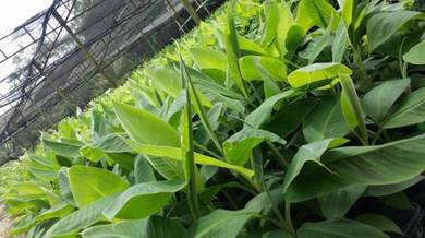Pisang tisu culture (benih pisang)