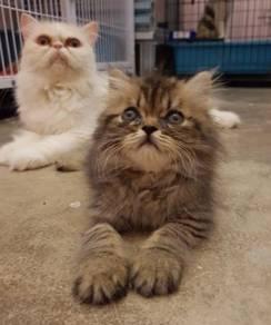 Kitten 2 month male female