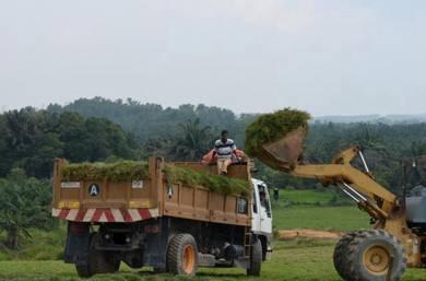 Cowgrass Malaysia