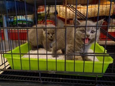 BSH Kittens British Short Hair