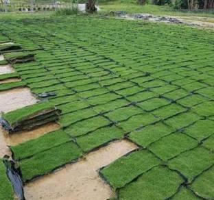 Rumput jepun / japanese grass direct ladang