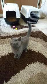 Kucing British Shorthair Pure Breed
