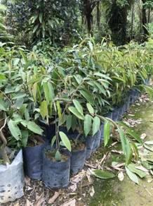 Pokokn Durian D24