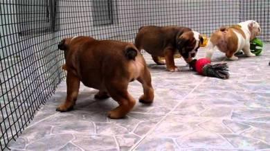 English bulldog; adorable ki;l 05pups