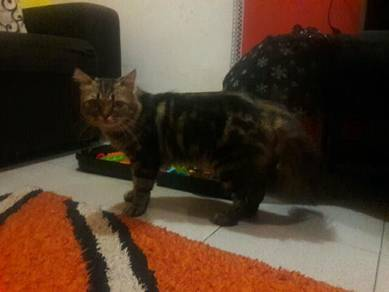 Kucing DLH marble