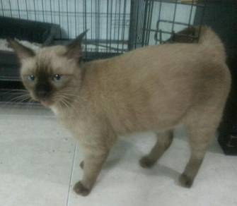 Kucing siam comel dan manja
