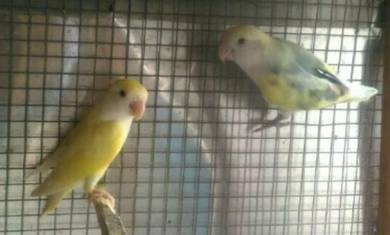 Love bird creamino (pair)