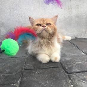 Kucing betina semiflat